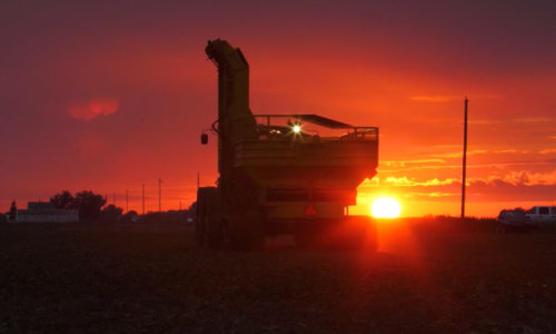 sugarbeet harvest at sunset